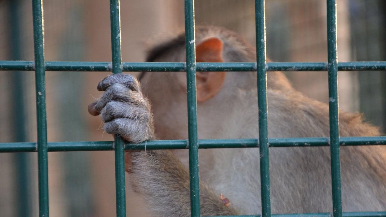 The US is 'out of step' on primate research with the rest of the world