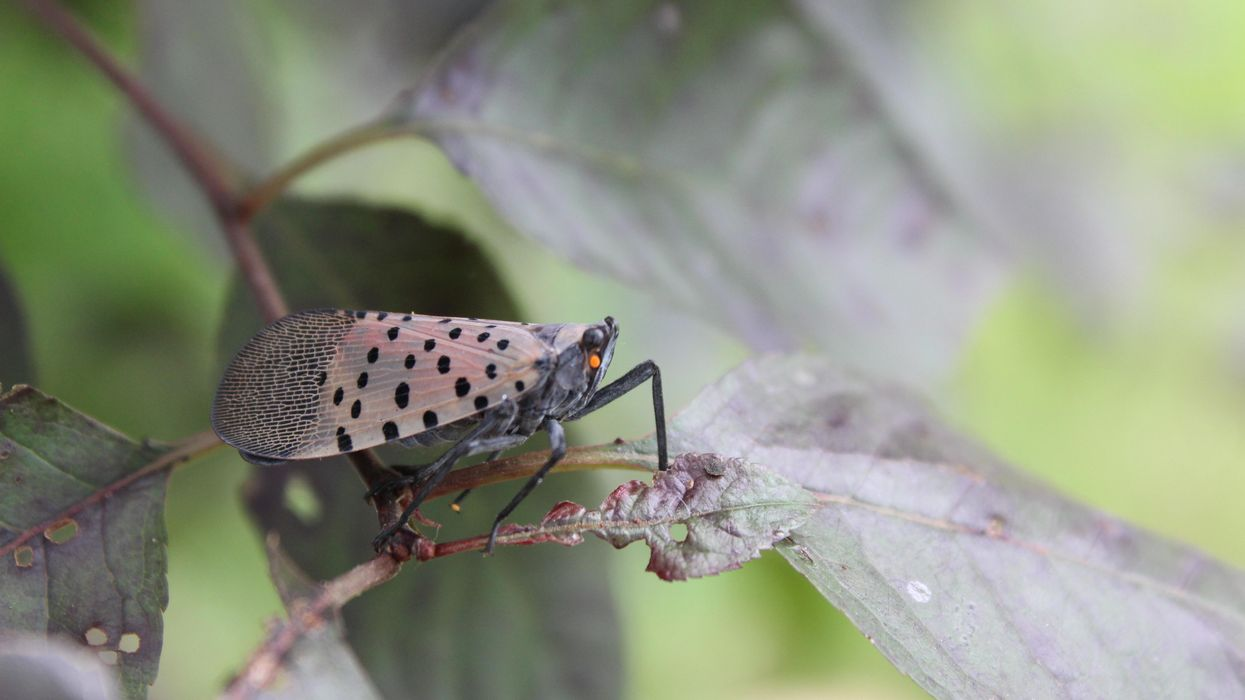 Why the spotted lanternfly must die