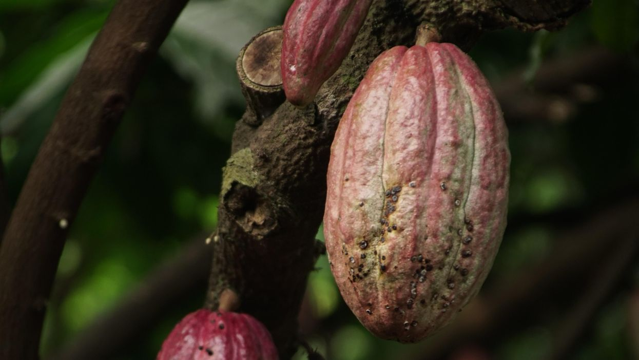 The murky truth about where your chocolate comes from