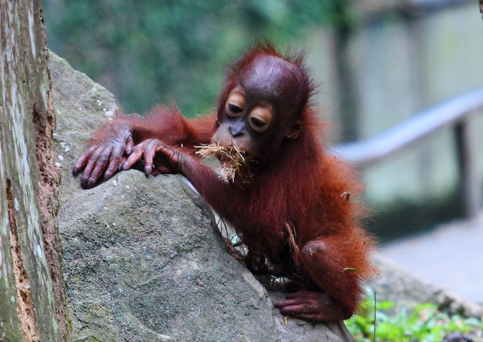 Research finds that orangutans can communicate about the past just like humans