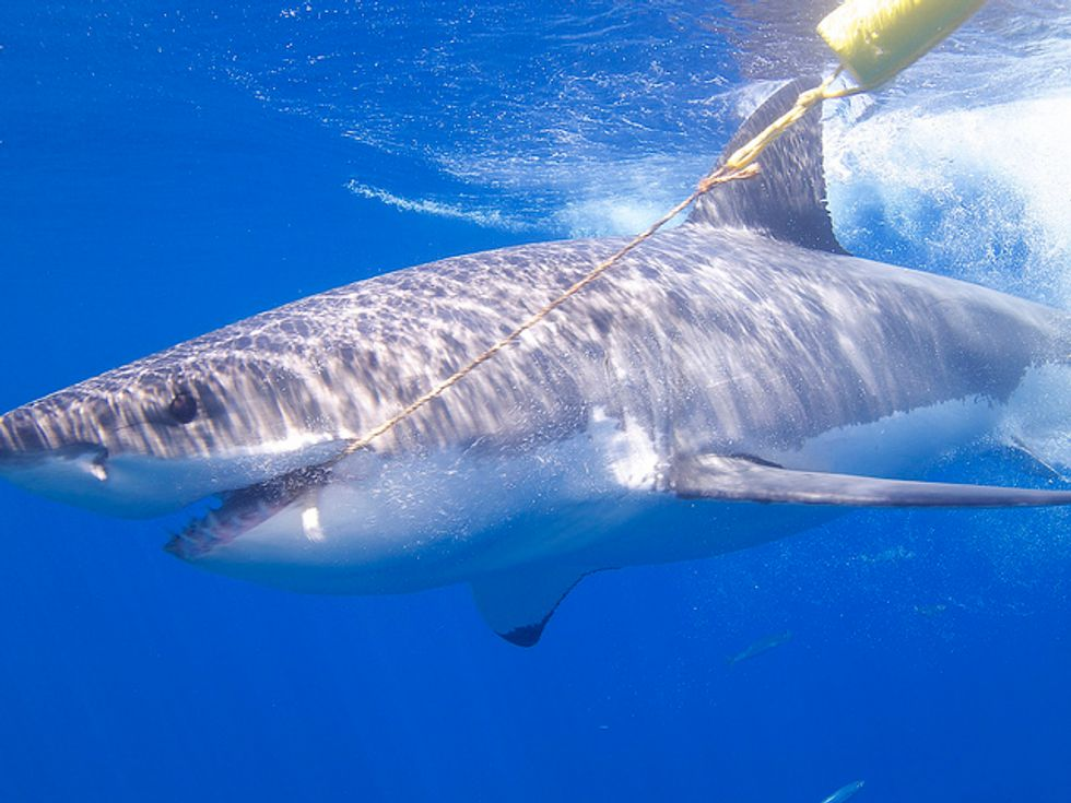 Here's how shark fishing tournaments harm marine conservation efforts
