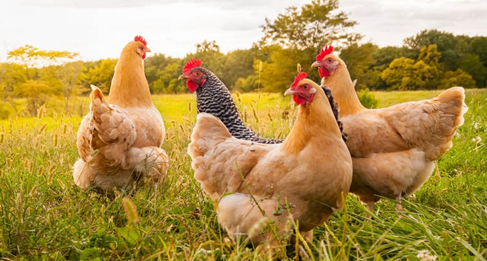 How factory farms could trigger a antibiotic crisis — and what we can do to stop it