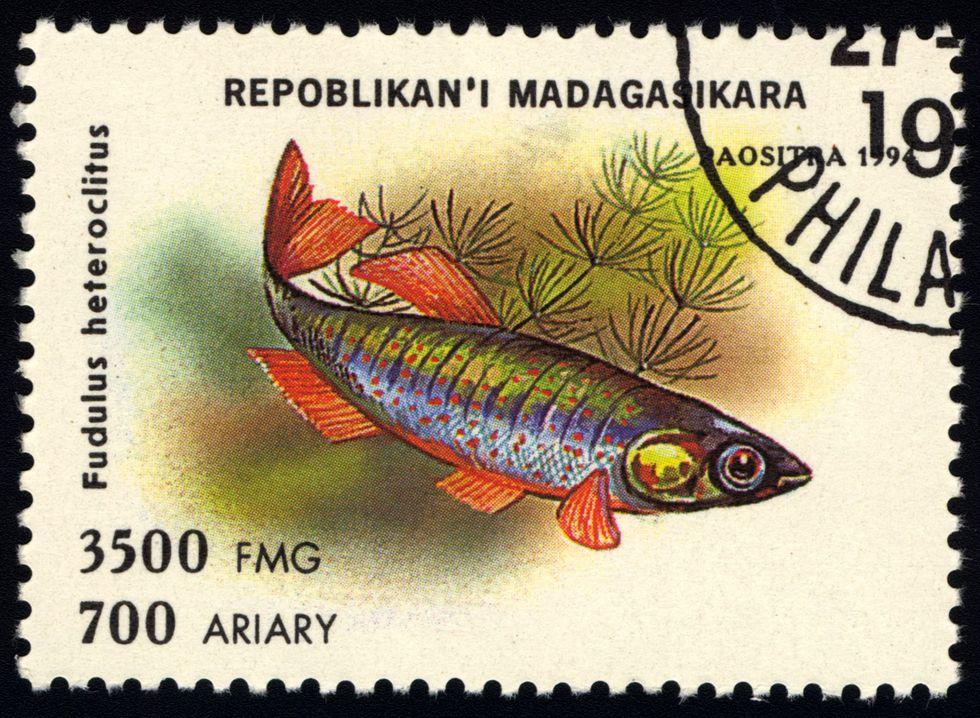 Meet the famous mummichog: Model fish extraordinaire