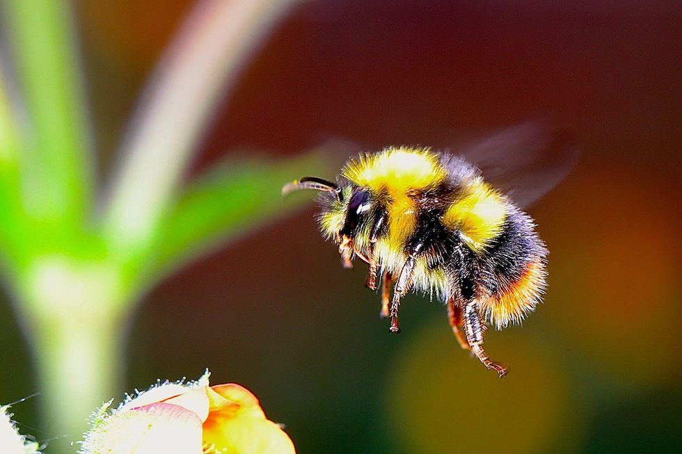 New study warns climate chaos is driving a rapid decline of bumblebees