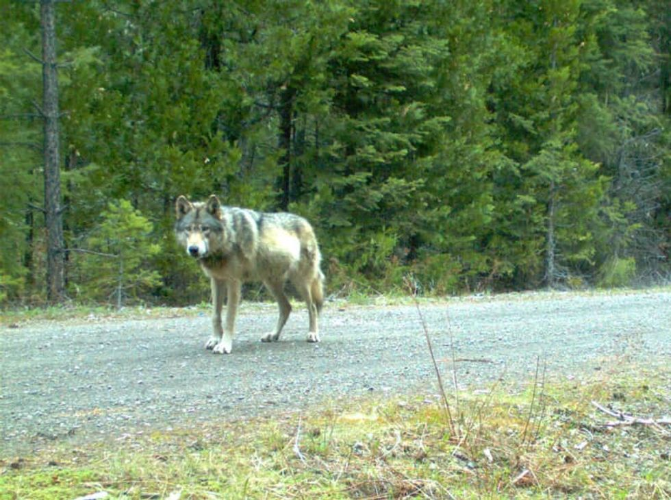 Legendary California wolf that captivated animal lovers and enraged ranchers is likely dead