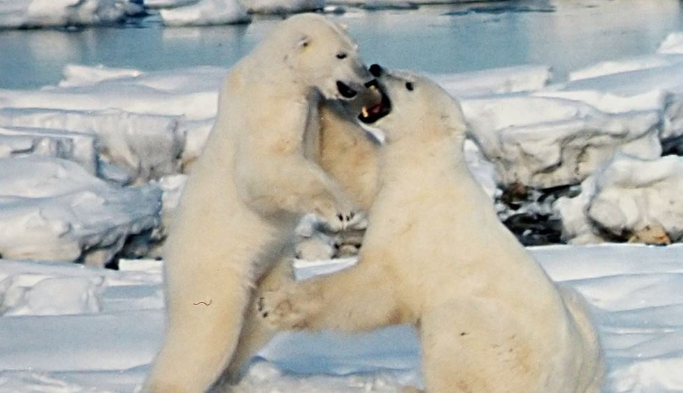 Study predicts polar bears will die off within 80 years: 'The poster child for climate change'
