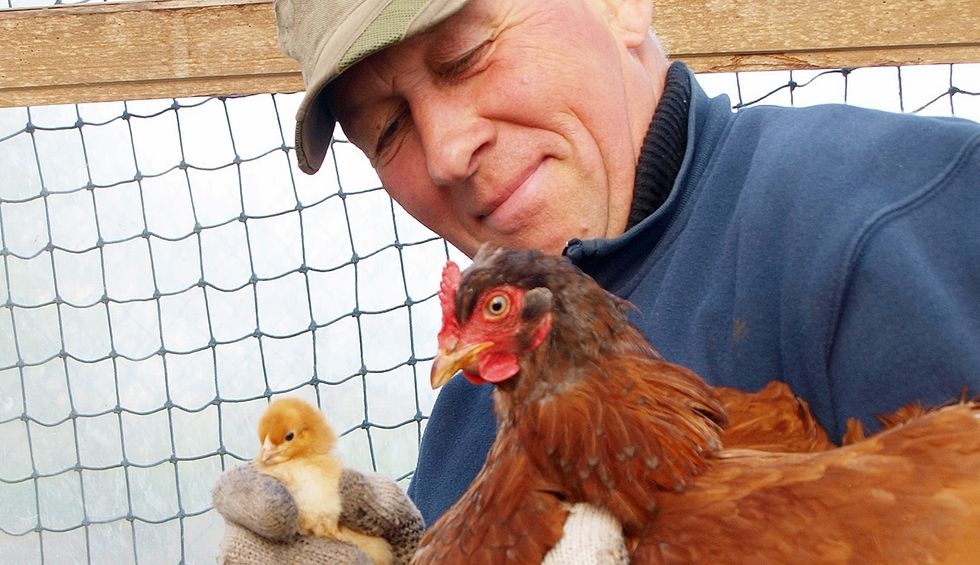Trump's USPS sabotage is killing thousands of chicks — and chicken farmers' livelihoods
