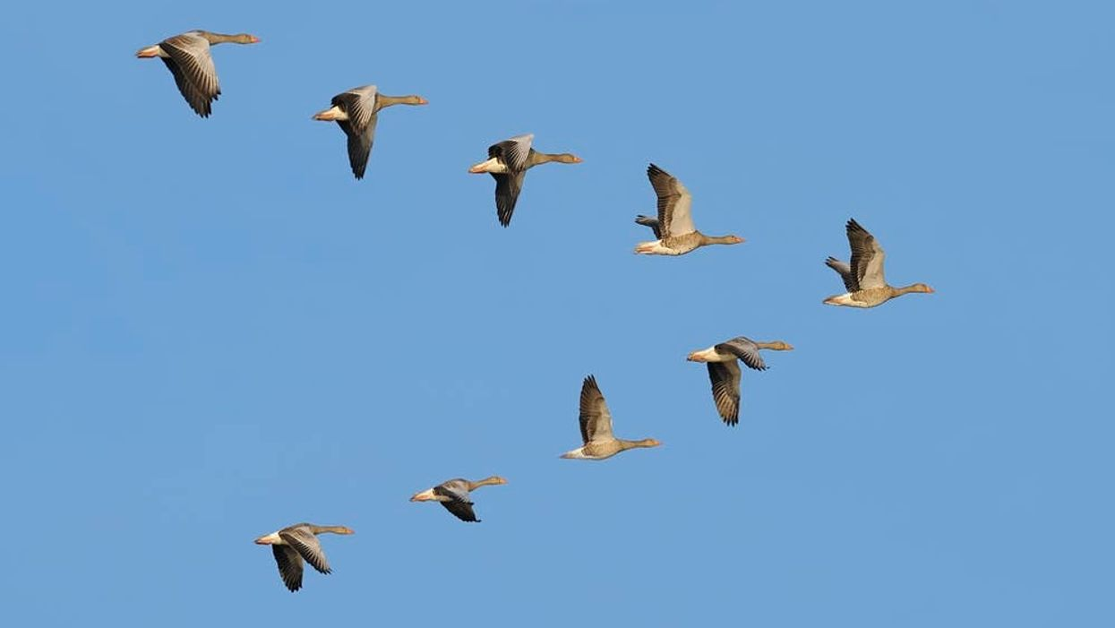How do geese know how to fly south for the winter?