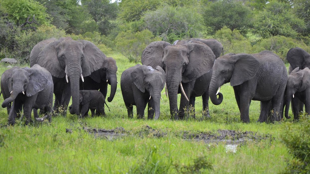 African elephants face serious risk of extinction, warns new study
