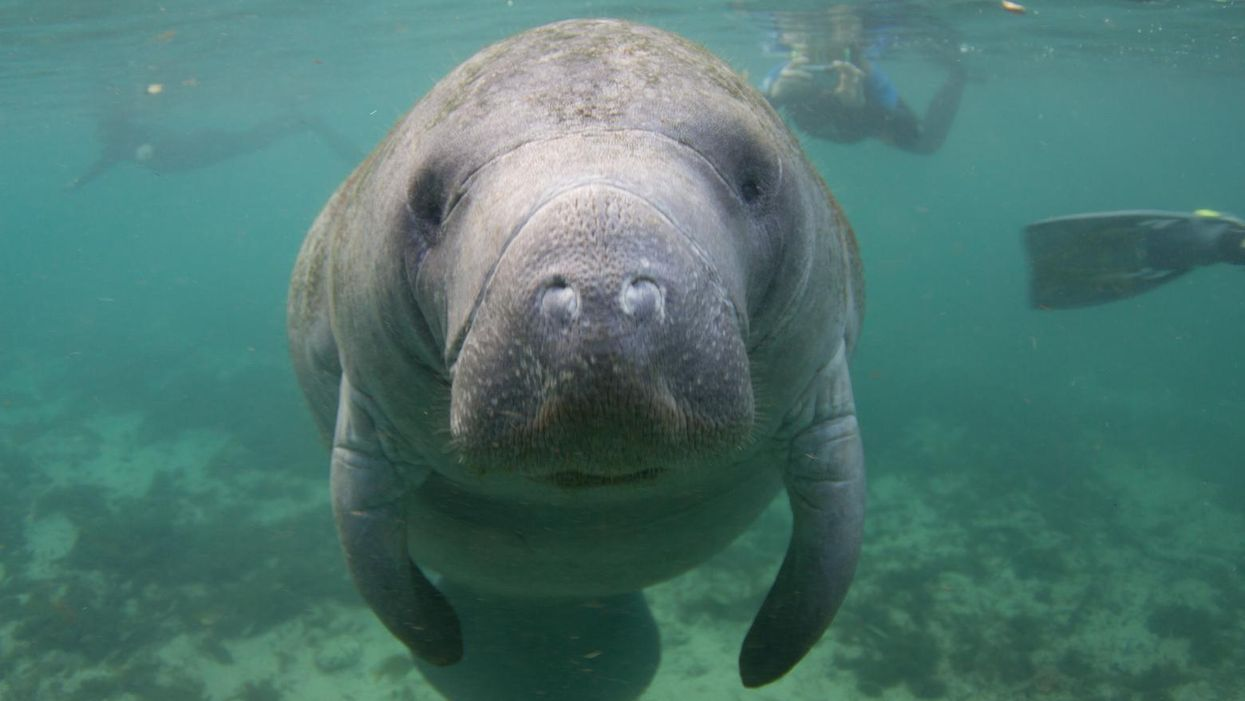 Climate crisis and negligent policymakers blamed for 'record sickening levels' of manatee deaths in Florida