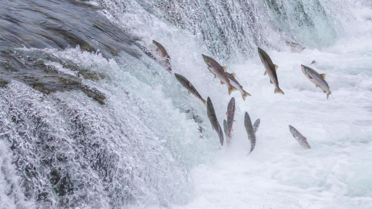 'It's a climate catastrophe': Most of the salmon in California's 2nd largest river dead or dying