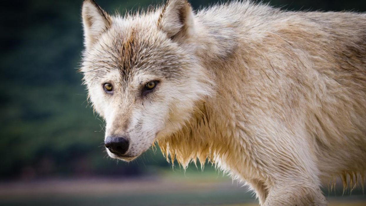 Undercover investigations expose brutal wildlife killing contests