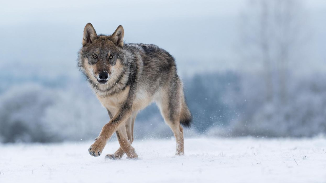 With Idaho's new law, conservationists fear 'uncontrolled slaughter' of 90% of gray wolves