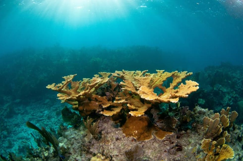 A coral sex milestone: Lab-grown and replanted corals to spawn in the Florida Keys