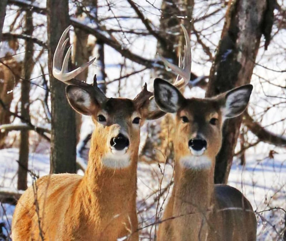 Deadly deer disease expected to worsen under Michigan's controversial hunting limits