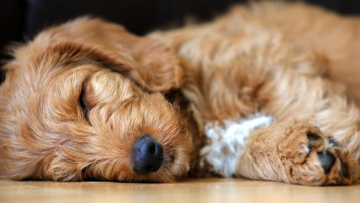 The heartbreaking truth about those cute doodle dogs