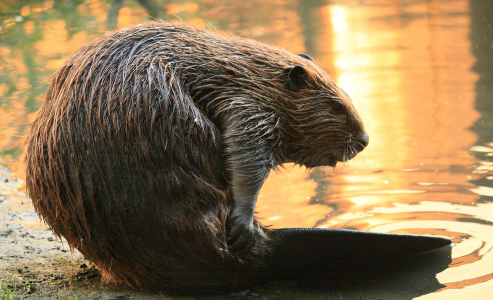 What you should know about giant human-sized beavers