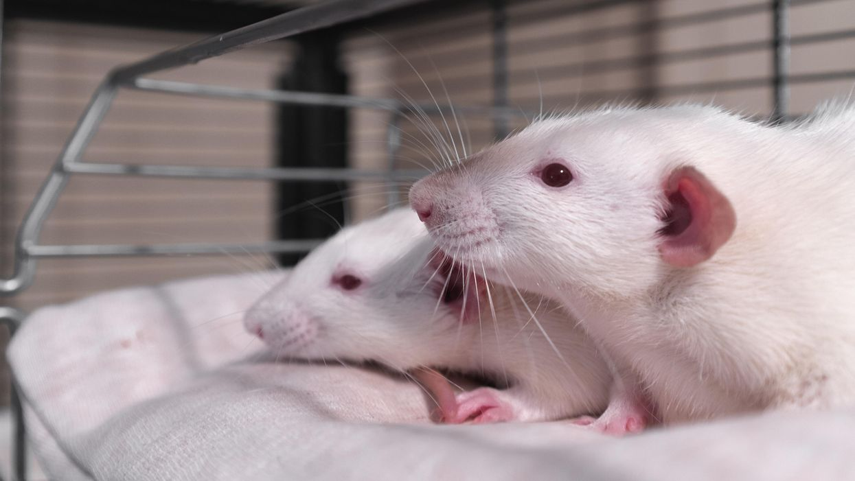 Most Americans generally oppose animal testing — will the US finally ban it?